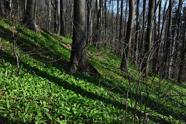 Cieszyn cieszynit cieszynianka czyli uczymy się nowych słówek wędrując szlakiem przez Rezerwat Kopce w Cieszynie