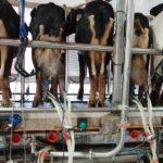 Sery i kozy, czyli wakacyjna wizyta w kanaryjskiej oborze