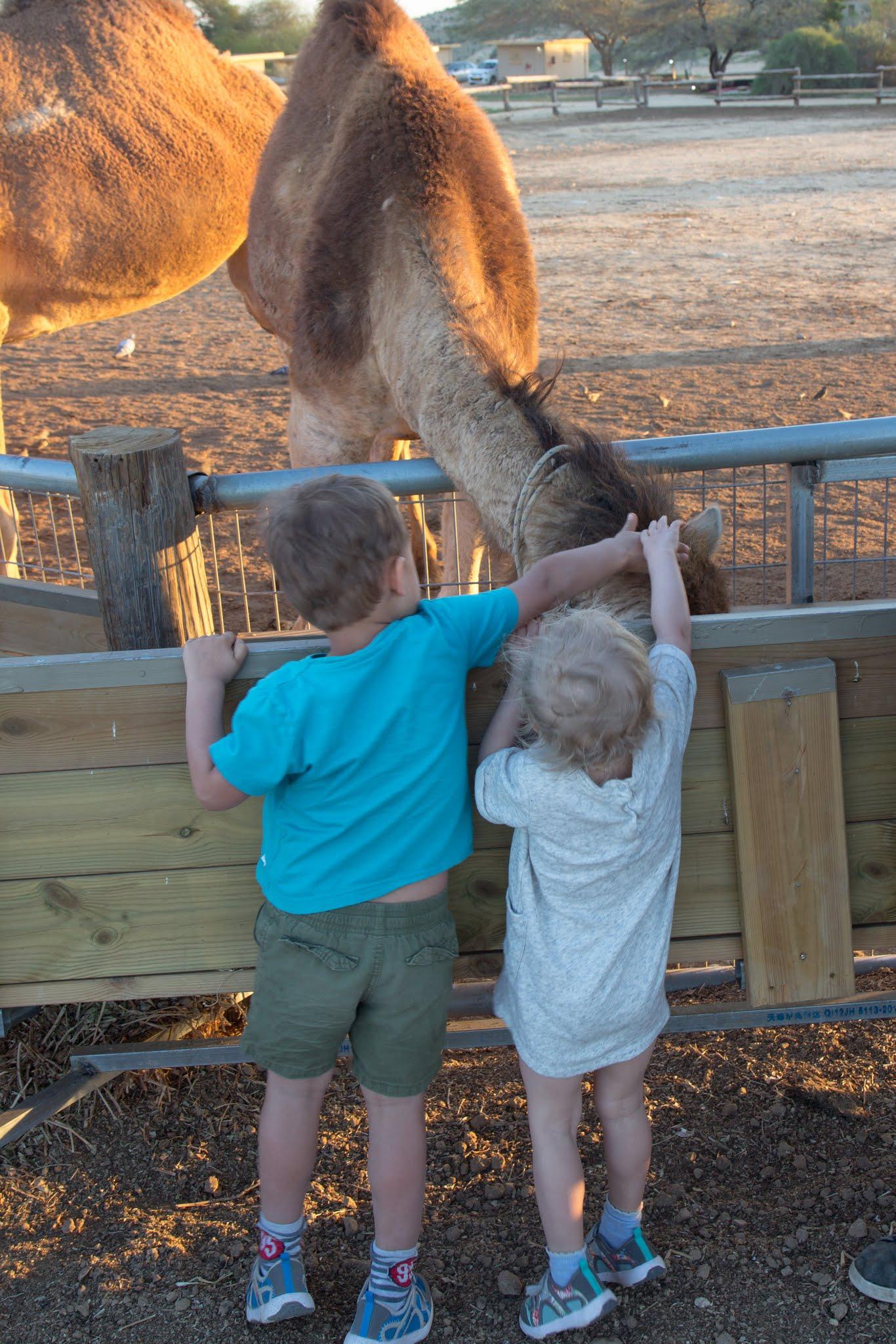 Izrael, Dimona, ranczo wielbłądów