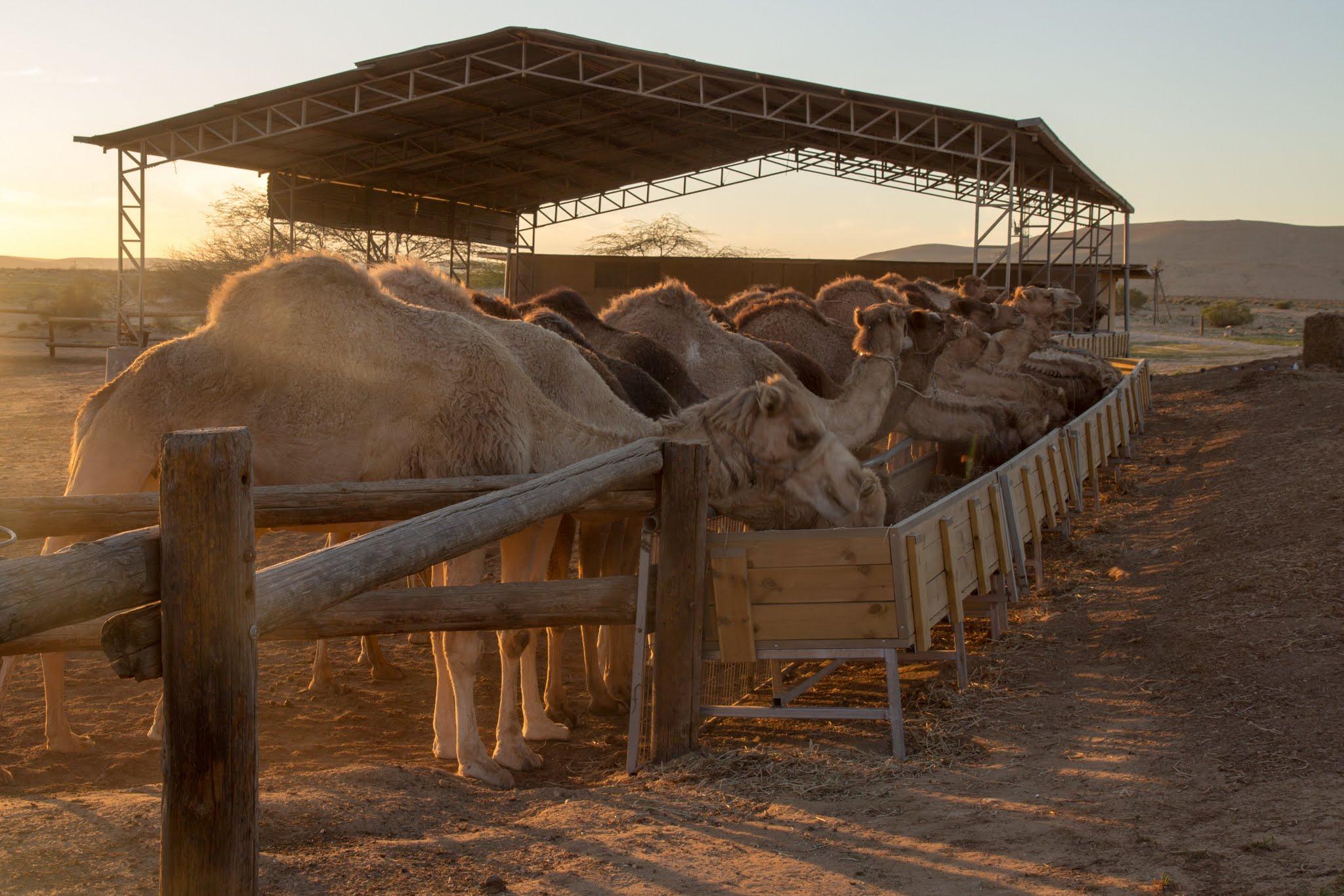 na ranczu wielbłądów w Dimonie, atrakcje dla dzieci w Izraelu