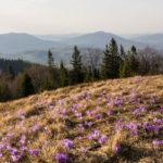 Turbacz – najpiękniejsze szlaki, krokusy i Korona Gór Polski