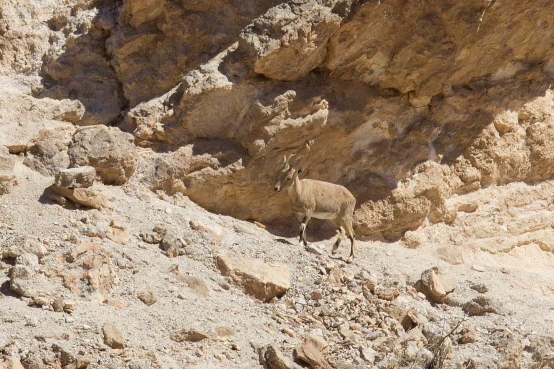 Czerwony Kanion, Pustynia Negew, Izrael, zwierzęta