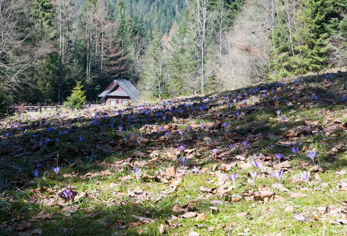 krokusy w Koninkach, szlak niebieski z na Turbacz, Korona Gór Polski