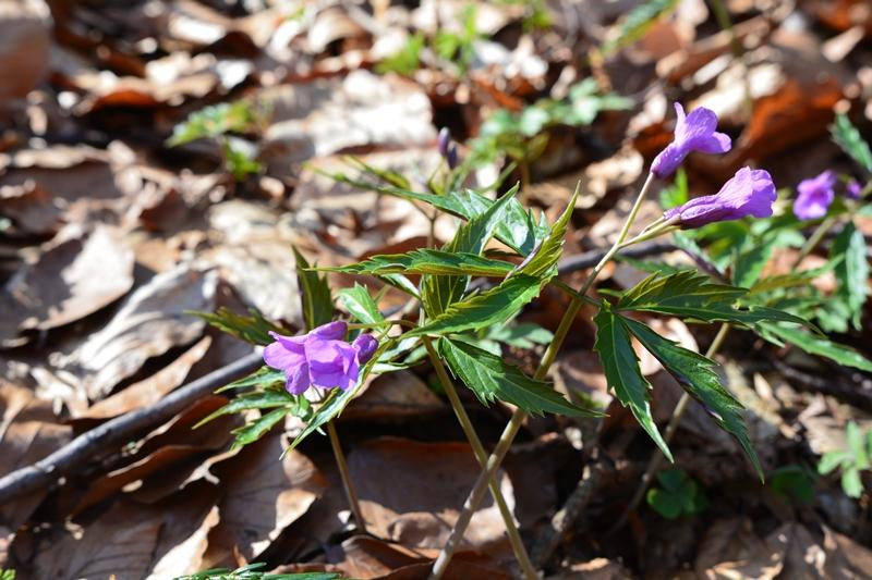 kwiaty wiosenne w Gorcach