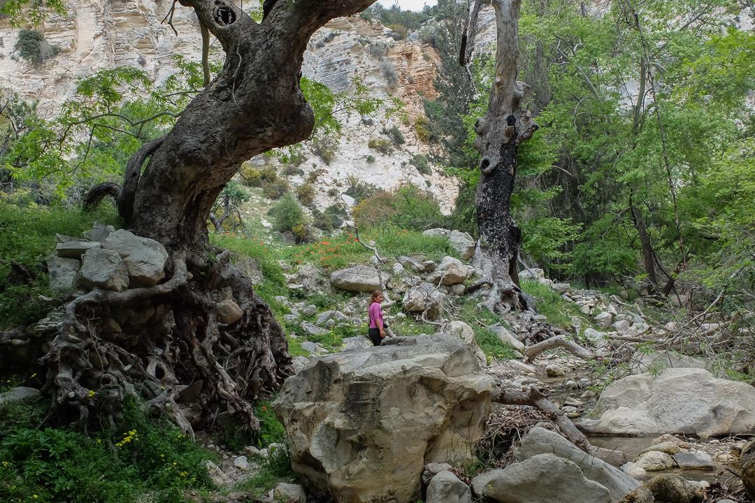 Wąwóz Avakas, Cypr, drzewa