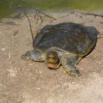 Żółwie wróciły do rzeki Aleksander czyli ekologia po izraelsku