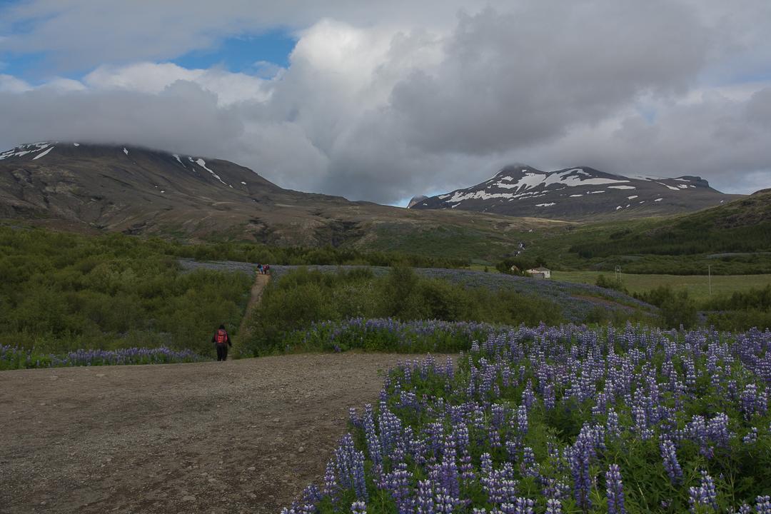 początek szlaku na Glymur, pola łubinów w czerwcu